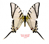 Eurytides telesilaus (Peru) A2