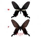 Papilio macilentus (Korea) A2
