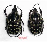 Hypselogenia nyassica (Tanzania) P