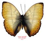 Cymothoe rheinholdi (RCA)