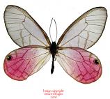 Cithaerias aurorina (Peru)