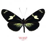 Heliconius doris green (Colombia)