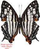 Cyrestis maenalis maenalis (Philippines)