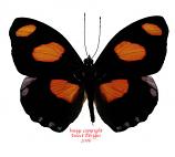 Catonephele numilia (Peru)