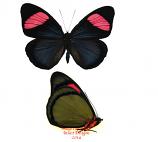 Batesia hypochlora f. hypochlora (Peru) A2