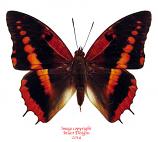Charaxes cynthia (RCA)