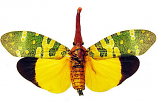 Pyrops candelaria fulgardis (Thailand)