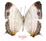 Cyrestis cassander (Philippines)