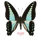 Graphium sarpedon (Java)