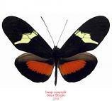 Heliconius clysonimus (Costa Rica) A-