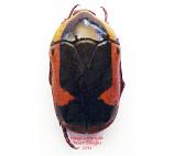 Pachnoda ephippiata (Tanzania)