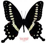 Papilio lormieri (RCA) A-