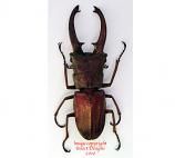 Cyclommatus canaliculatus (Malaysia)