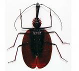 Mormolyce castelnaudi (Malaysia)