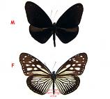 Euploea mulciber semperi (Philippines)