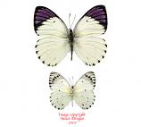 Colotis regina (Tanzania)