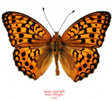 Fabriciana pallescens (Korea) A-