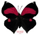 Anaea marthesia (Peru) A-