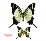 Graphium decolor atratus (Philippines)
