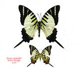 Graphium decolor atratus (Philippines)
