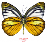 Cepora nadina andersoni (Malaysia)