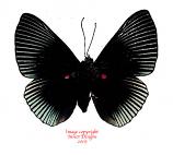 Lypropteryx appollina (Peru)