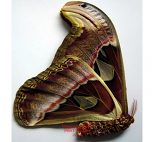 Attacus atlas (Malaysia) A1 and A2