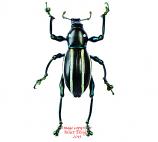 Pachyrrhynchus pulchellus (Philippines)