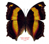 Yoma sabina (Sulawesi)