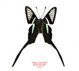 Lamproptera meges decius (Philippines) A-