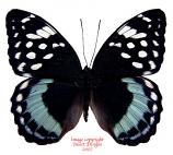 Lexias satrapes amlana (Philippines)