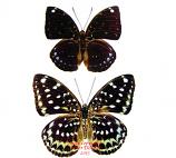 Lexias albopunctata borealis (Thailand)