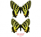Luehdorfia puziloi coreanus (Korea) A2