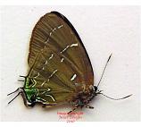 Janthecla leea (Peru)