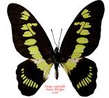 Graphium latreillianus theorini (RCA)