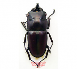 Prosopocoilus natalensis (Tanzania)