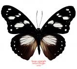 Hypolimnas dubius (RCA)