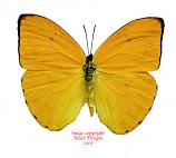 Phoebis argante (Peru)