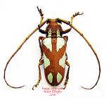 Prosopocera lactator (Tanzania) A2