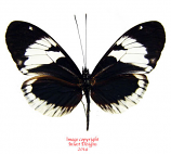 Heliconius cydno alithea (Ecuador) A-