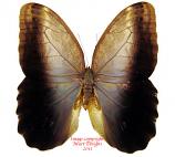 Caligo brasiliensis (Brazil)