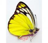 Cepora aspasia olgina (Philippines) A-
