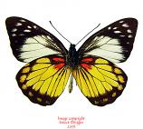 Prioneris autothisbe autothisbe (Sumatra) A2