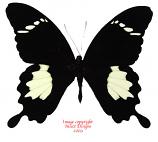 Papilio nephelus suntus (Malaysia) A-