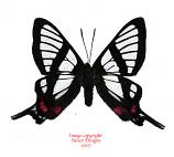 Chorinea syphina (Peru) A2
