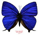 Arhopala herculina (Indonesia) A2