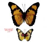 Euphaedra adonia (RCA)