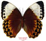 Stichophthalma louisa (Thailand) A-