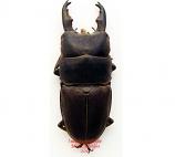 Dorcus taurus (Philippines)