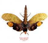 Cathedra serrata (Peru) A2